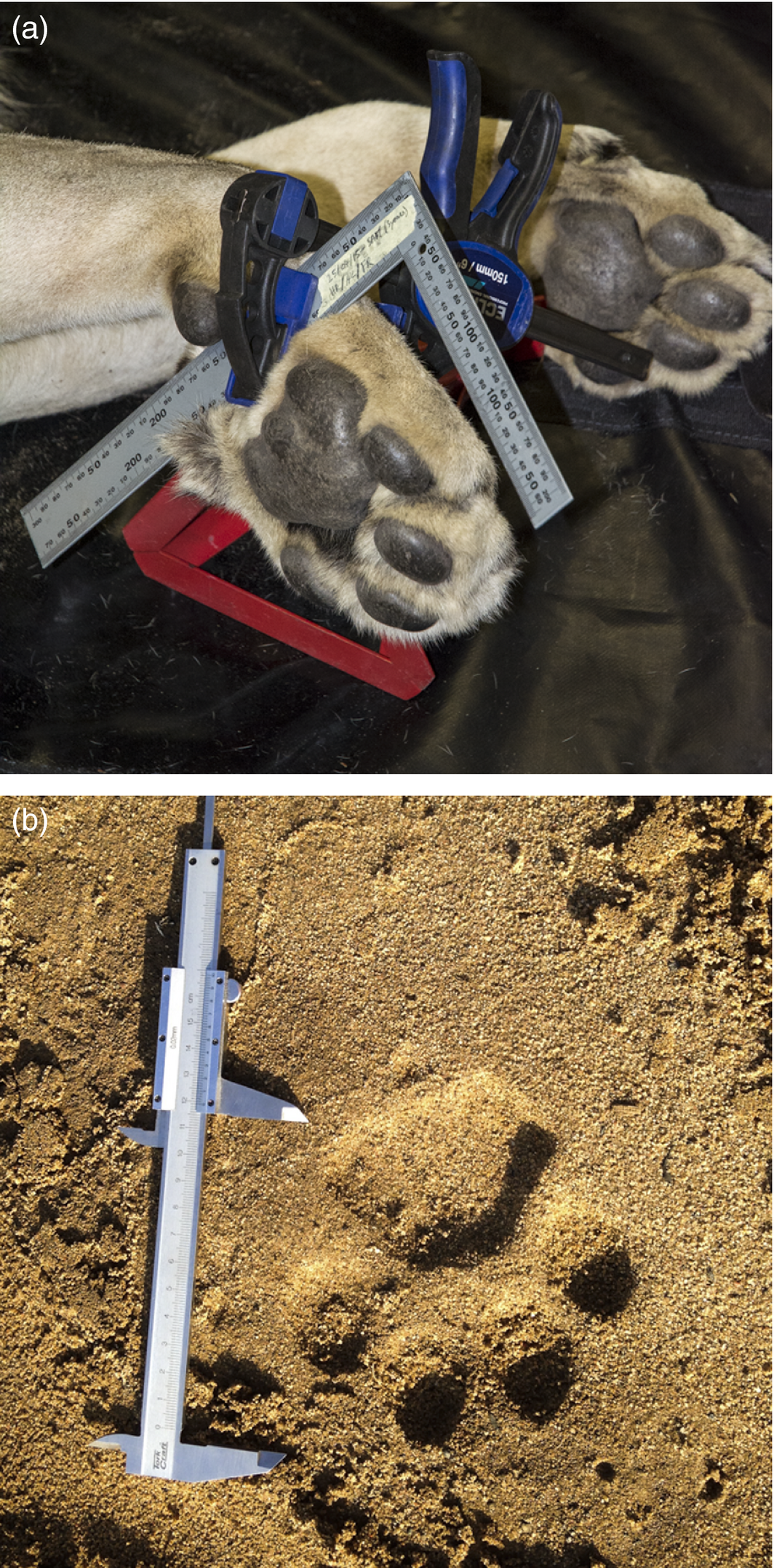 Paw and track sampling. (a) During the paw sampling, the motionless paw is positioned on a stand with a clamp holding the ruler and orientating the paw upward. (b) A vernier calliper was used for the direct measurements of paws and tracks. From  Marchal et al. (2016)