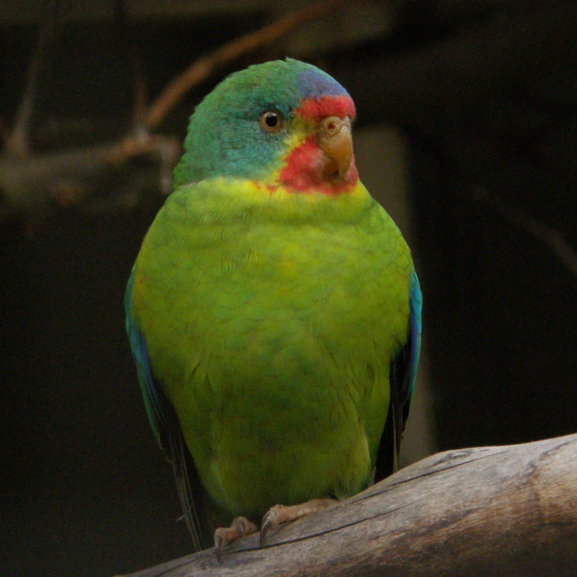 Swift Parrot ( Lathamus discolor ) |  Frank Wouters /Wikimedia Commons  [ CC BY 2.0 ]