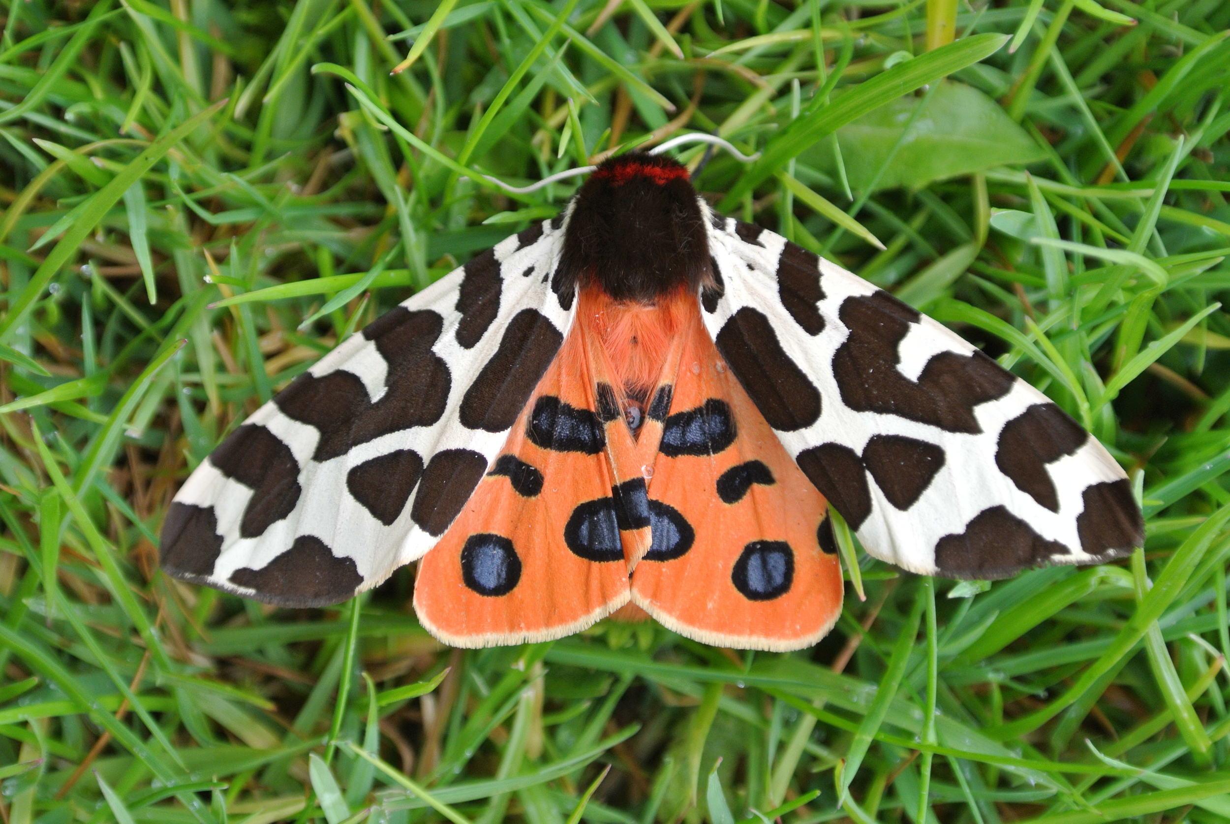 Tiger moth |  Temple of Mara/Wikimedia Commons  [ CC BY-SA 3.0 ]