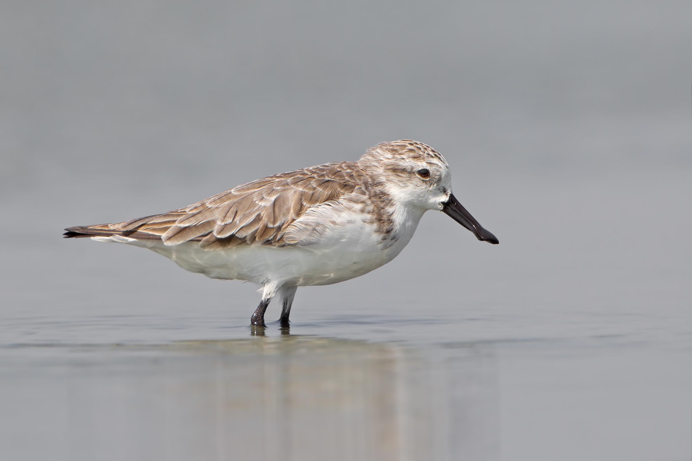 Spoon-billed Sandpiper ( Eurynorhynchus   pygmeus ) |  JJ Harrison/Wikimedia Commons  [ CC BY-SA 3.0 ]