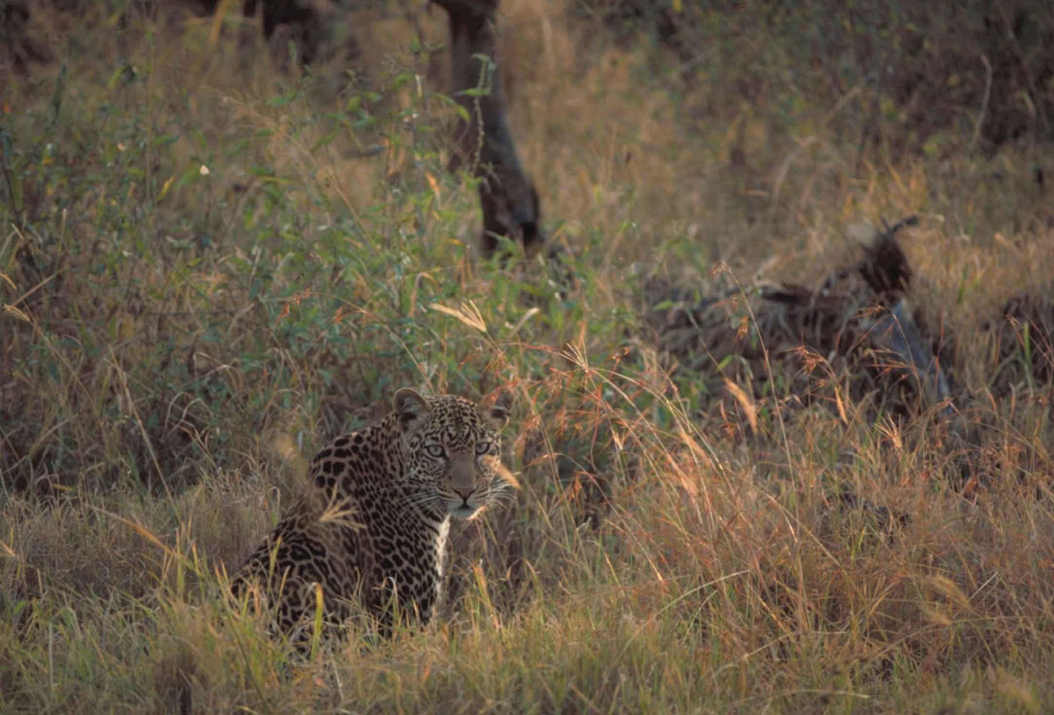 Panthera pardus  | [public domain]