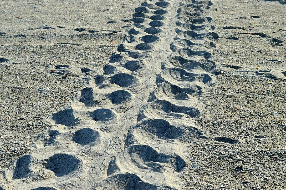 Loggerhead turtle ( Caretta caretta ) tracks |  Jean-Lou Justine/Wikipedia  [ CC BY-SA 3.0 ]