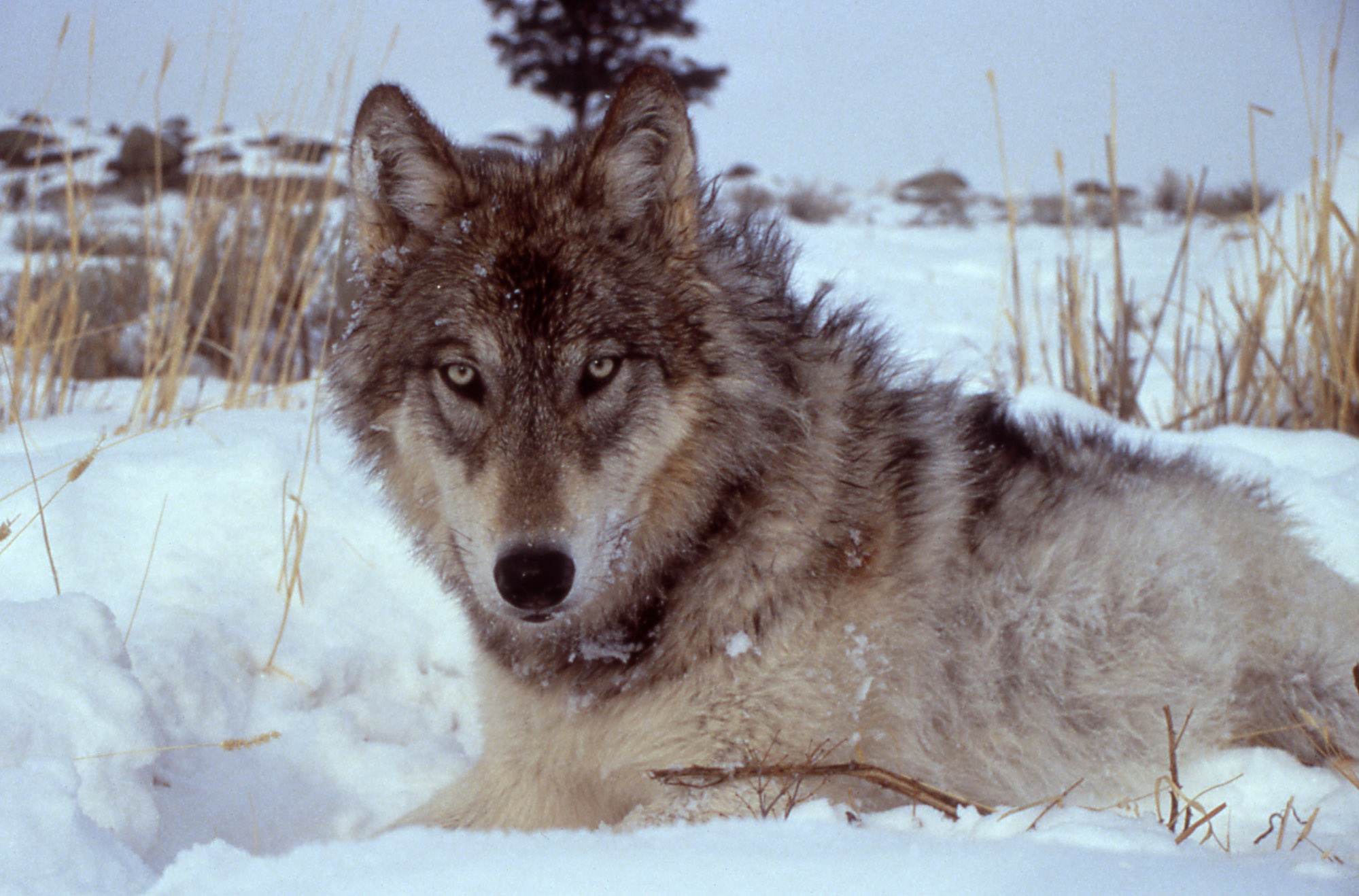 Collared wolf from the Druid pack, Yellowstone National Park | [public domain]