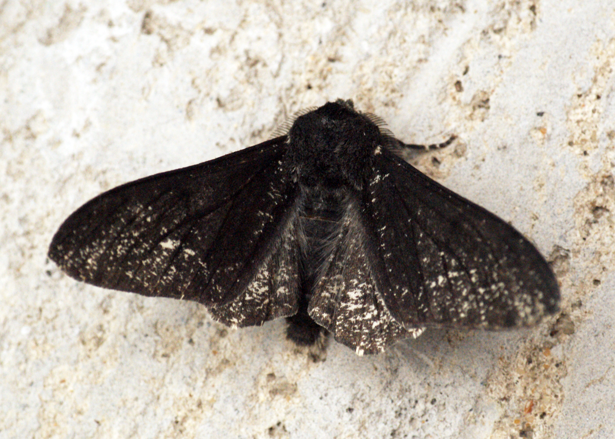 Peppered moth |  Ben Sale/Wikimedia Commons  [ CC BY 2.0 ]