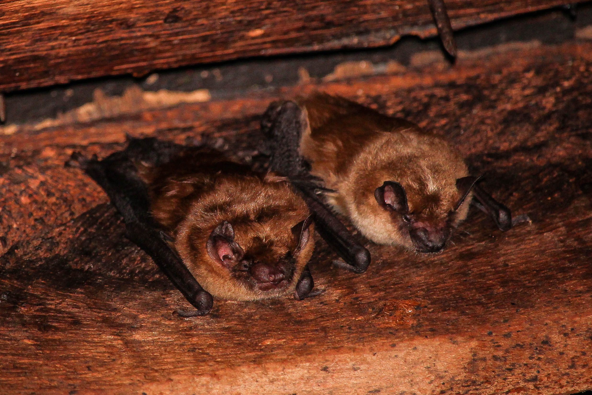 Big brown bats ( Eptesicus fuscus ) |  Connor Long/Wikimedia Commons  [ CC BY-SA 4.0 ]