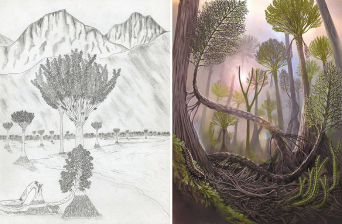 Left: Frank Mannolini/New York State Museum. Right: Victor Leshyk. Scientific illustrator Victor Leshyk used a sketch from researchers (left) to create a conception of the Gilboa Fossil Forest for a cover of Nature (right) |  Nature