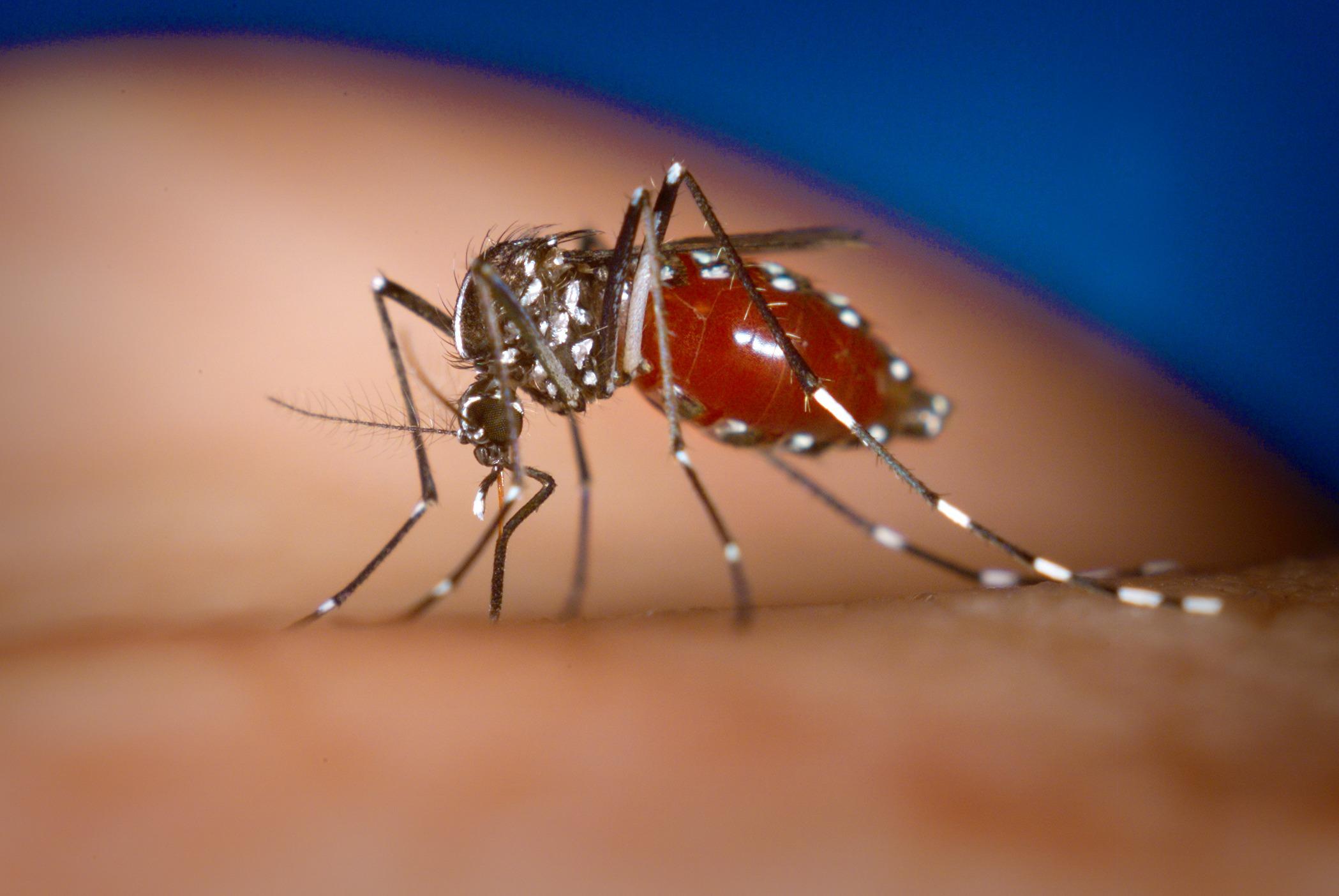 Aedes albopictus  | James Gathany/Wikimedia  Commons [public domain]