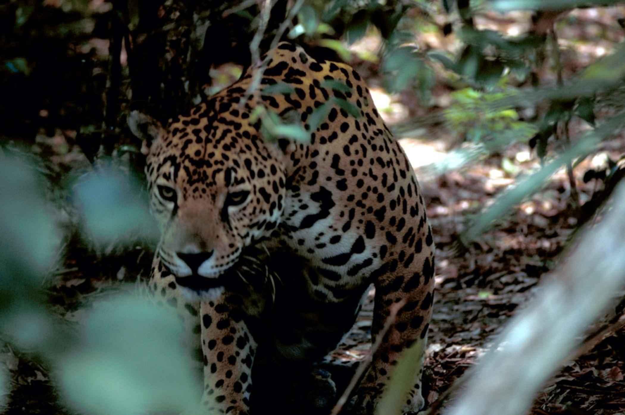 Panthera onca  | [public domain]