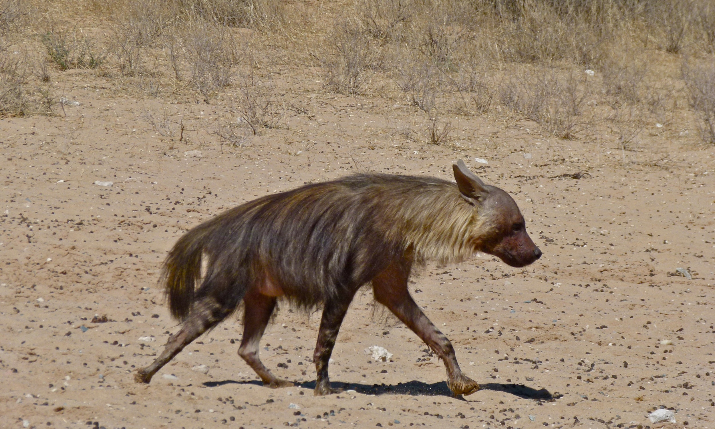 Brown hyena |  Bernard Dupont/Wikimedia Commons  [ CC BY-SA 2.0 ]