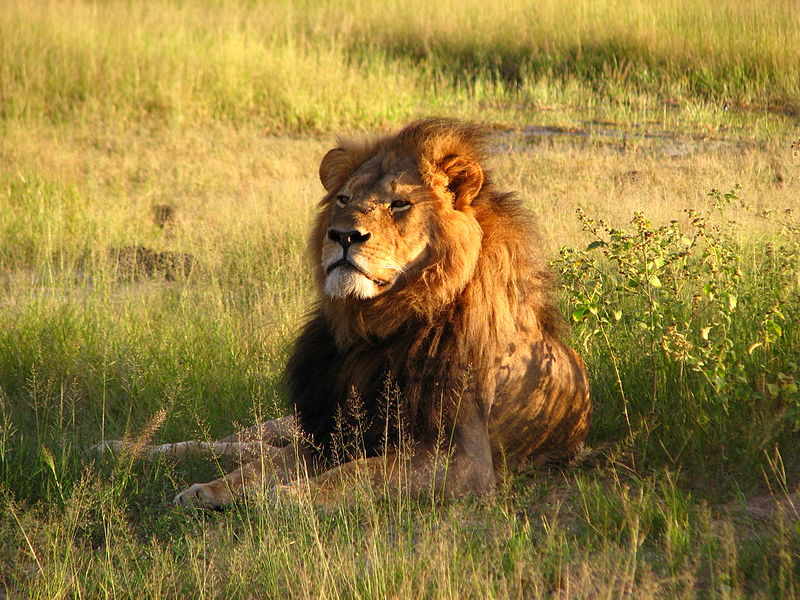Cecil the lion    Daughter#3 /Wikimedia Commons [   CC BY-SA 2.0   ]