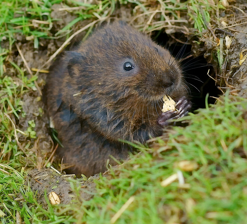 Water vole |  Peter G Trimming /Wikimedia Commons [   CC BY 2.0   ]