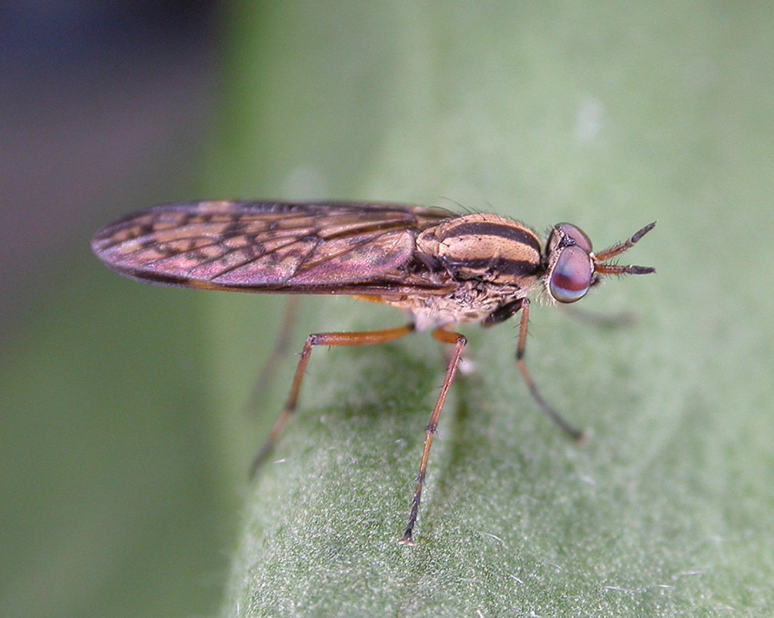 Adult male  Zelothrix yeatesi  sp. n.; Warrumbungle National Park, New South Wales    Shaun L. Winterton /ZooKeys