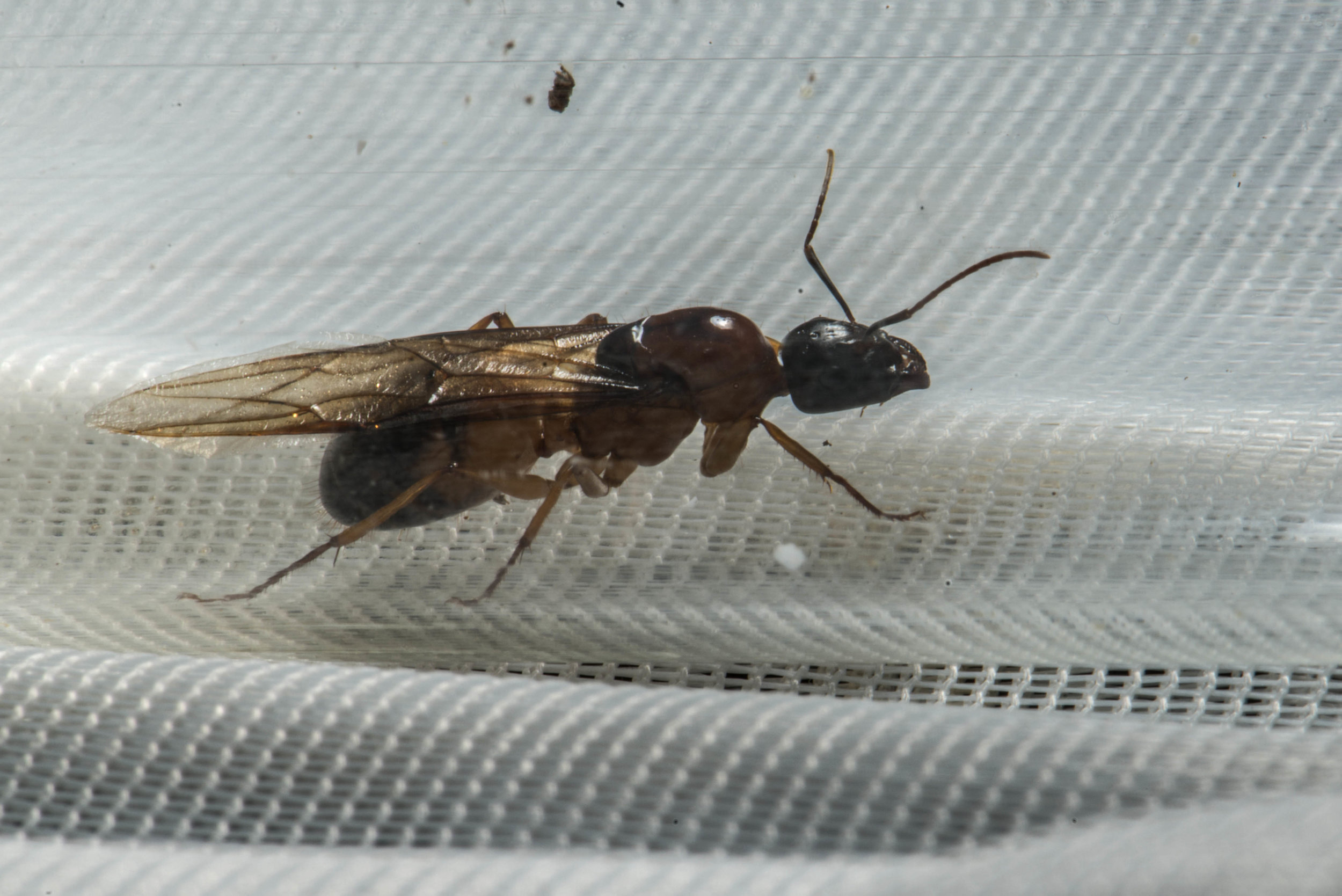 One of my  Camponotus consobrinus  queens |  David Elkins/Flickr  [used with permission]