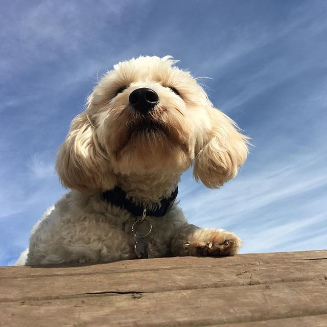 Riley loves sunbathing and thinking about just how much he loves Paw Envy Pet Care ❤️ #doggydaycare #pawenvypetcare #doggo #maltipoo #dogthoughts