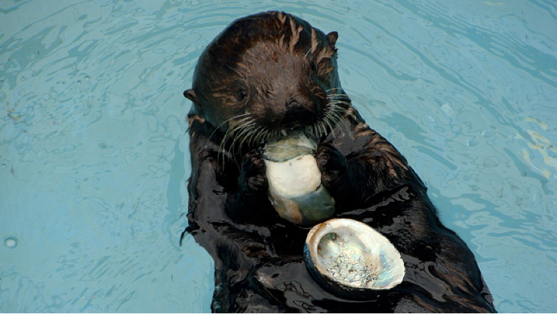 A deep crack allows abalone to be protected from predators, such as otters that can't reach within. An otter chows down on a black abalone. Photos: K. Melanson and D. A. Jessup (seaotters.com)