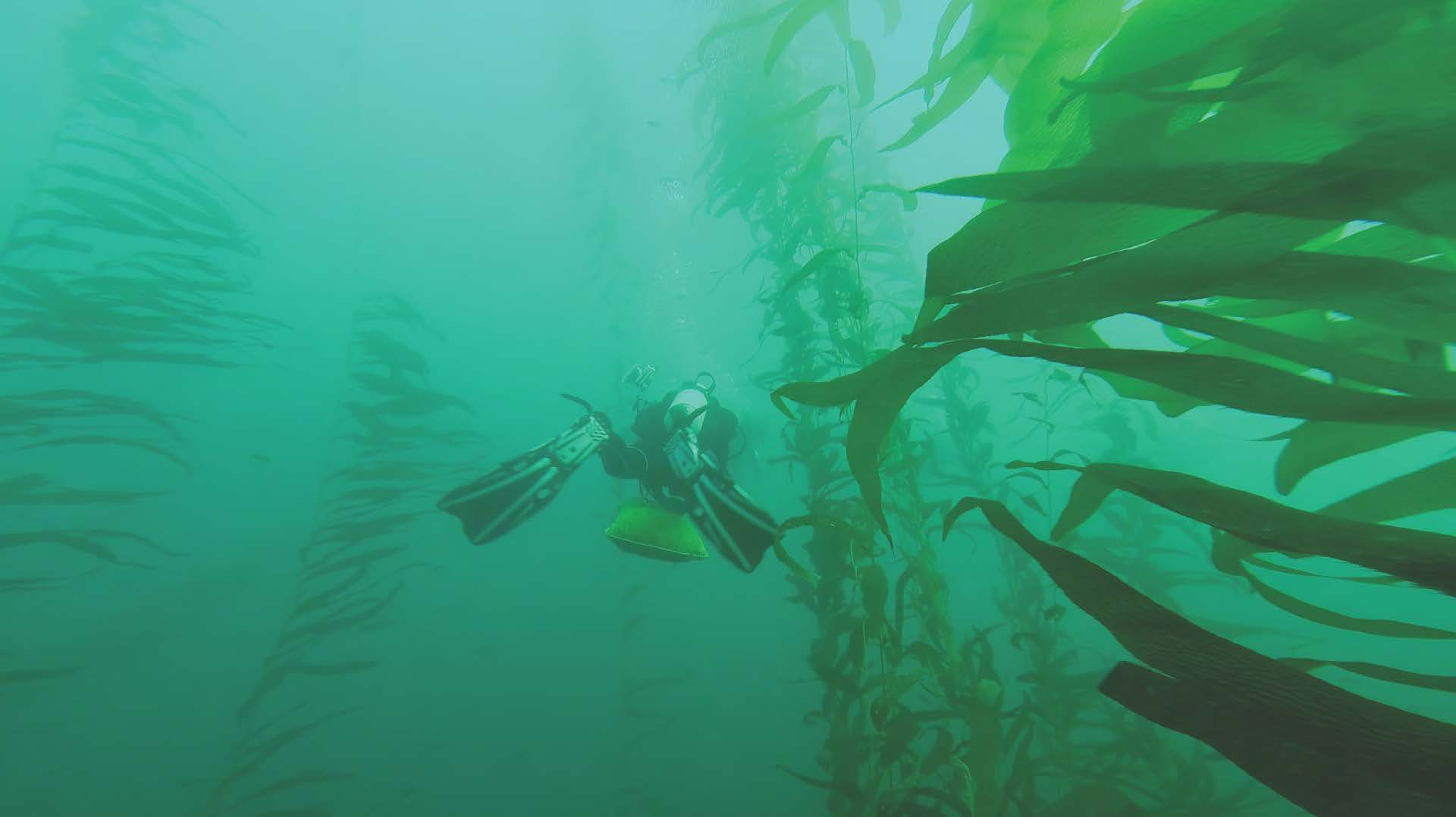 The great green unknown: A diver descends through a giant kelp forest. Photo credit: S Kram