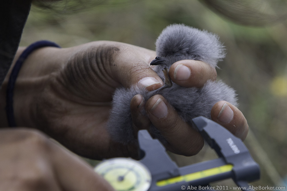 Measuring growth rates of a White-faced Storm-petrel chick.