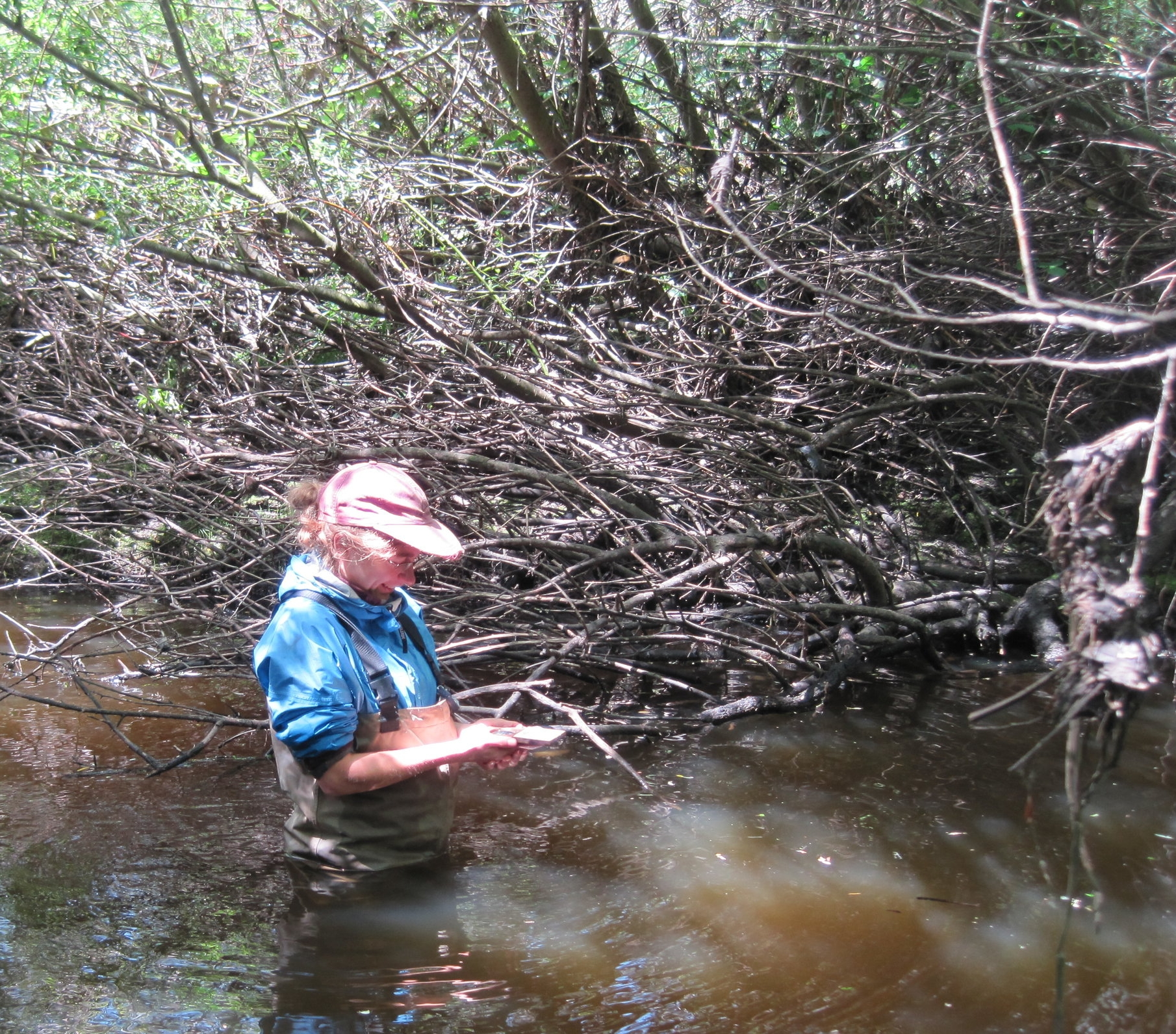 Stream work can be tricky - here I am waist deep trying to measure tree cover in Marin County.