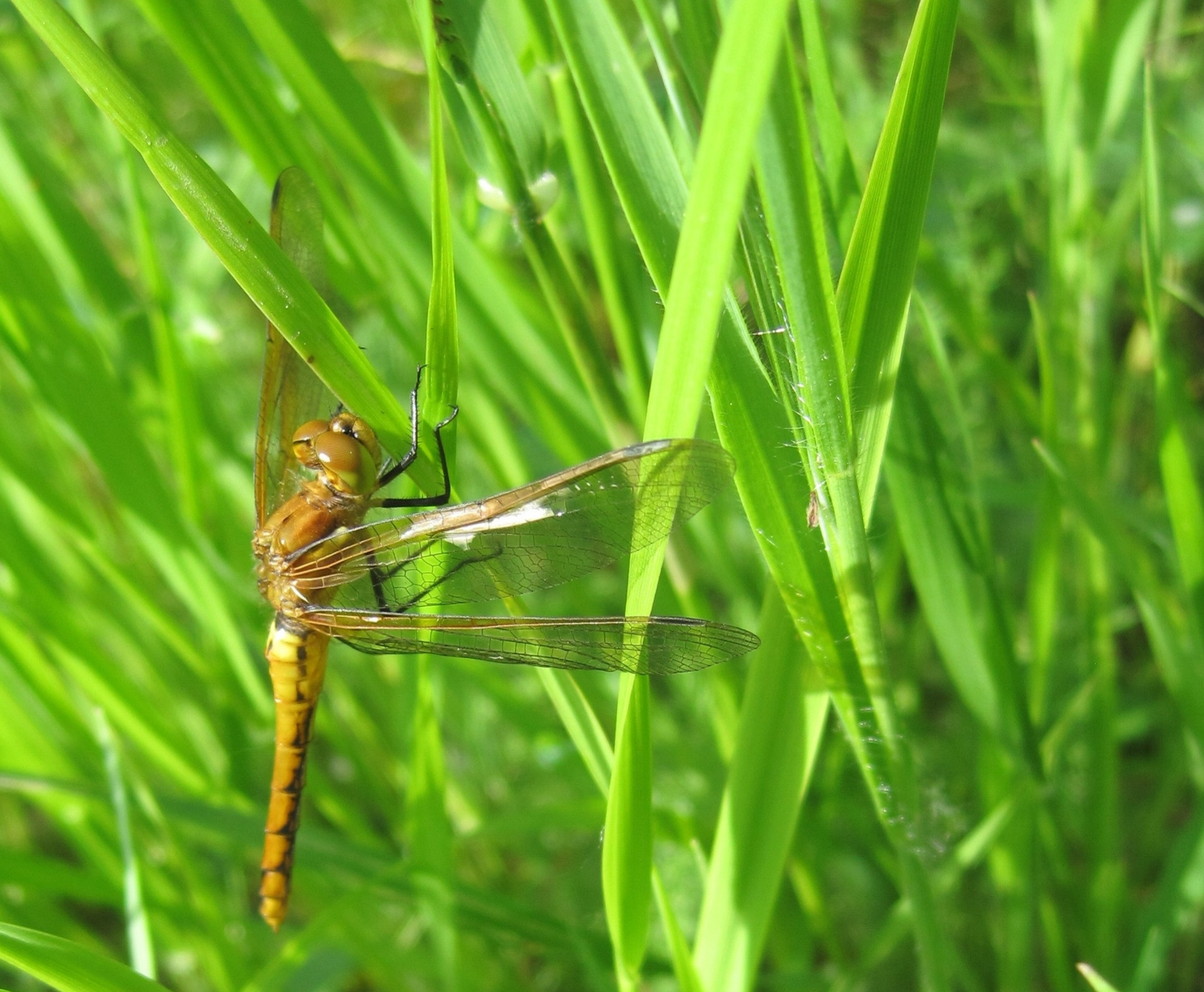While an adult dragonfly that is found above the water line on stream banks is probably familiar to most people...