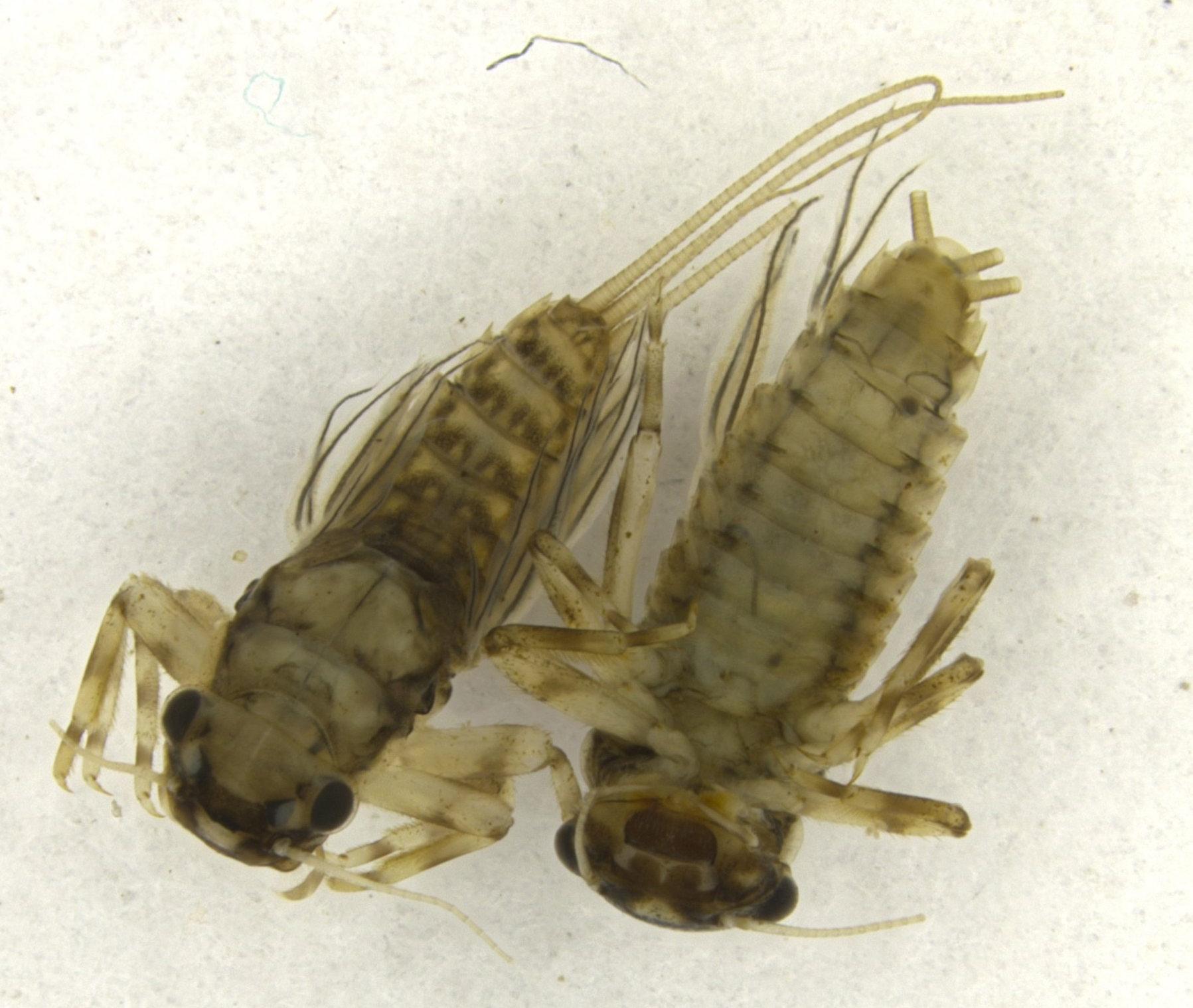 ...the insects found under the water, including these mayfly nymphs, with long filamentous gills that live on stream bottoms...