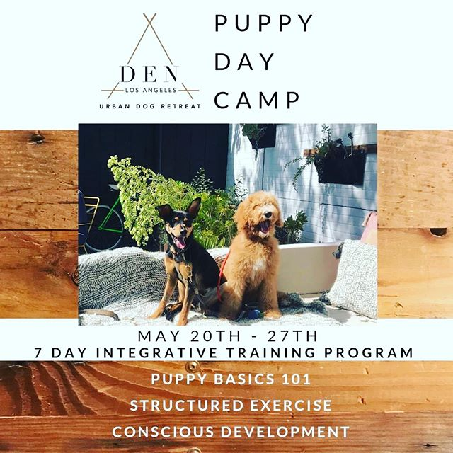 DEN the home of Eastside Hounds  Our next Puppy Day Camp is May 20th-27th! Pups learn basic obedience commands (sit, stay, down, come, heel, leave it), and develop healthy habits and behaviors amongst a group of their peers. Our integrative training includes daily pack hikes & structured socialization at our mindful doggy playcare @denurbandogretreat 🙏🏽Our training program is developed to give you the foundation you need to build a life long bond of mutual respect and trust with your four-legged best friend. Detailed information for this program can be found on our website denurbandog.com, or you can DM us with any questions! ⠀⠀⠀⠀⠀⠀⠀⠀⠀ .⠀⠀⠀⠀⠀⠀⠀⠀⠀ .⠀⠀⠀⠀⠀⠀⠀⠀⠀ .⠀⠀⠀⠀⠀⠀⠀⠀⠀ #basicobedience #dogtraining #mindfultraining #obedience #doggydaycare #playcare #dogsofinstagram #instadaily #training #mindfulness #holisticdog #wellnessfordogs #petnutrition #instadog #dogsofla #silverlakedogpark #rescuedog #cesarmilan #dogtricks