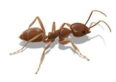 argentine-ant-image_1560x1107.jpg
