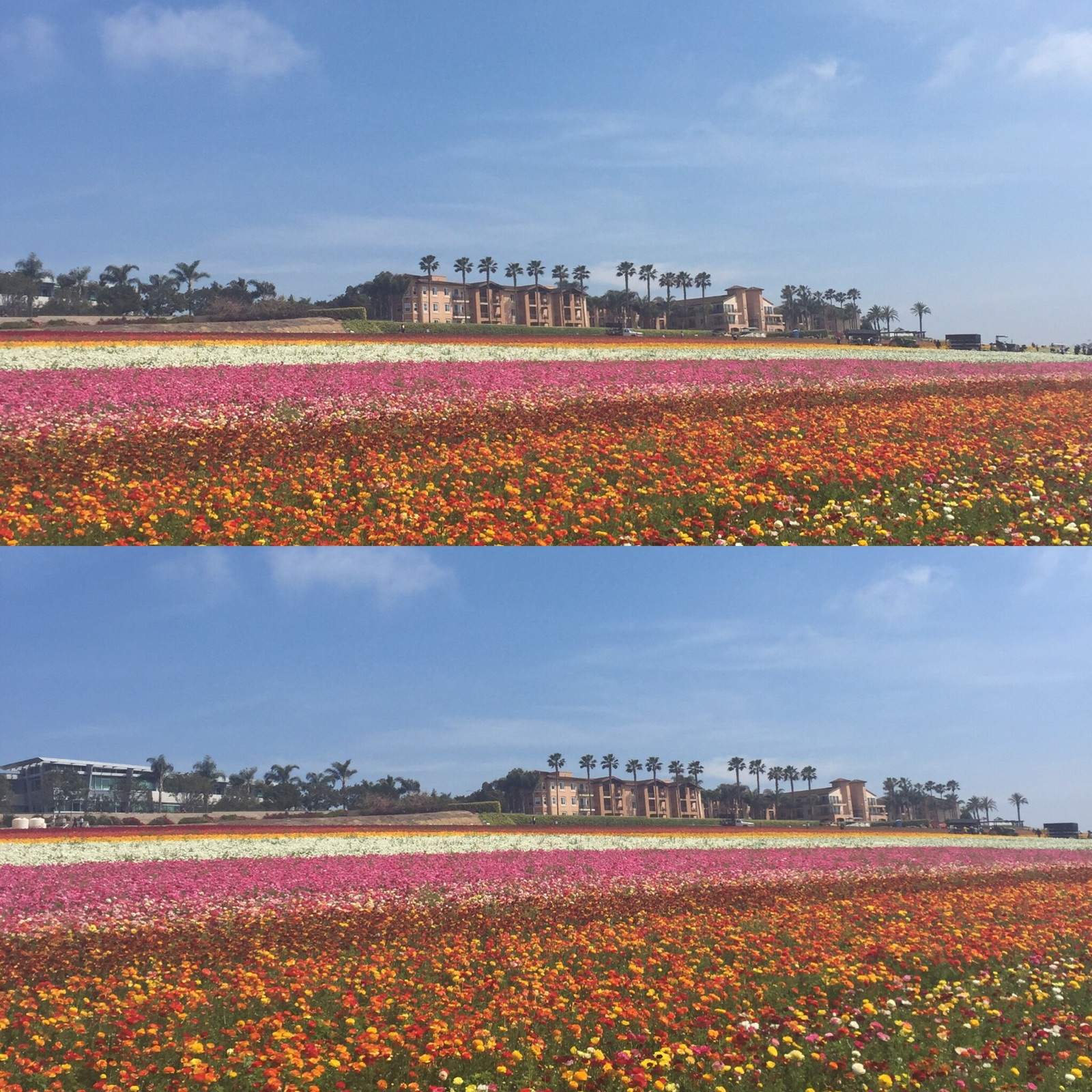 Carlsbad, Ca Field Of Flowers