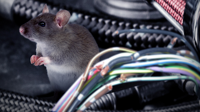Rat caught in the act of chewing through wires in an engine compartment. (AP Photo: WFTV.com)