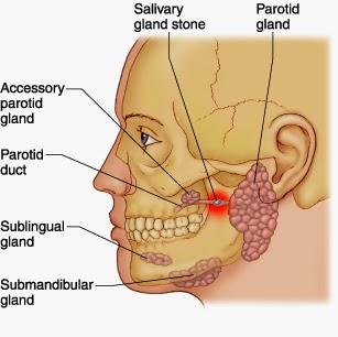 Salivary glands and salivary gland stones