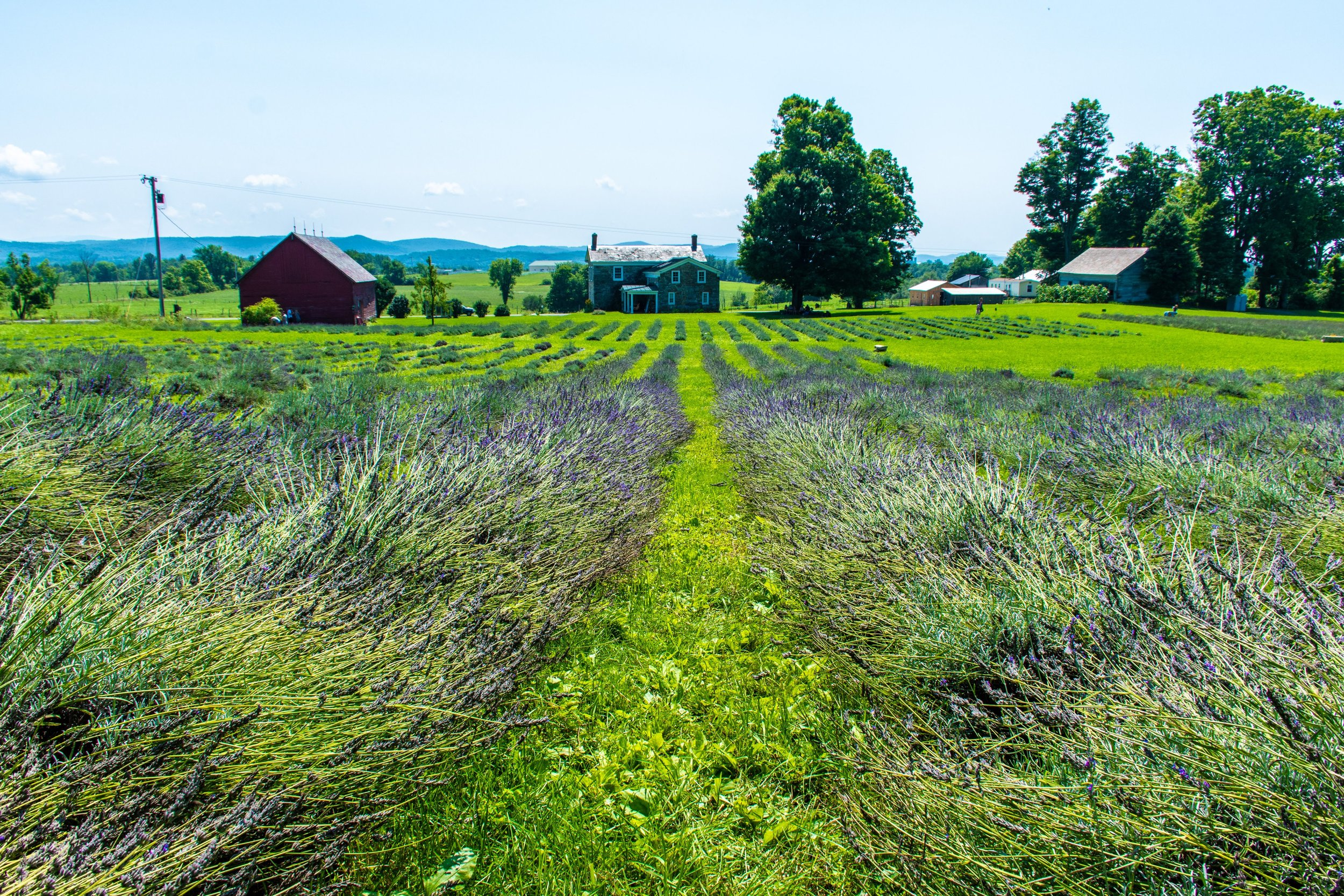 Welcome To Lavenlair Farm - We grow thousands of lavender plants for fragrant and culinary use on our organic farm located near Lake George in beautiful upstate New York.The farm is now closed for the 2019 U-Pick Season.  Be sure to add December 6th, 7th & 8th to your calendar to attend our 2019 Holiday Open House, where you can tour the main level of our 200 year old stone farmhouse all decorated in a lavender Christmas theme,  sample some lavender hot cocoa and shop for the holidays!Please be sure to visit our events page or follow us on Facebook for workshops, classes and other events here at the farm.  We so appreciate your continued love and support of our farm! -- David & Diane