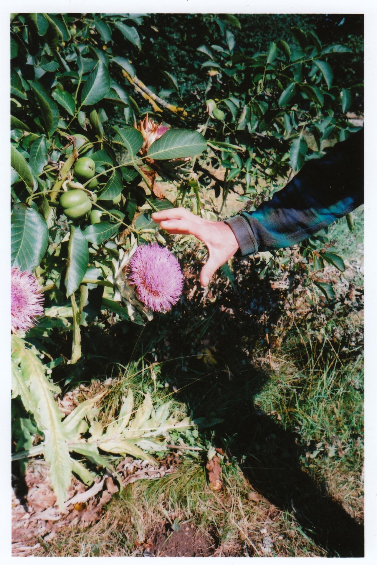 artichoke flowers!