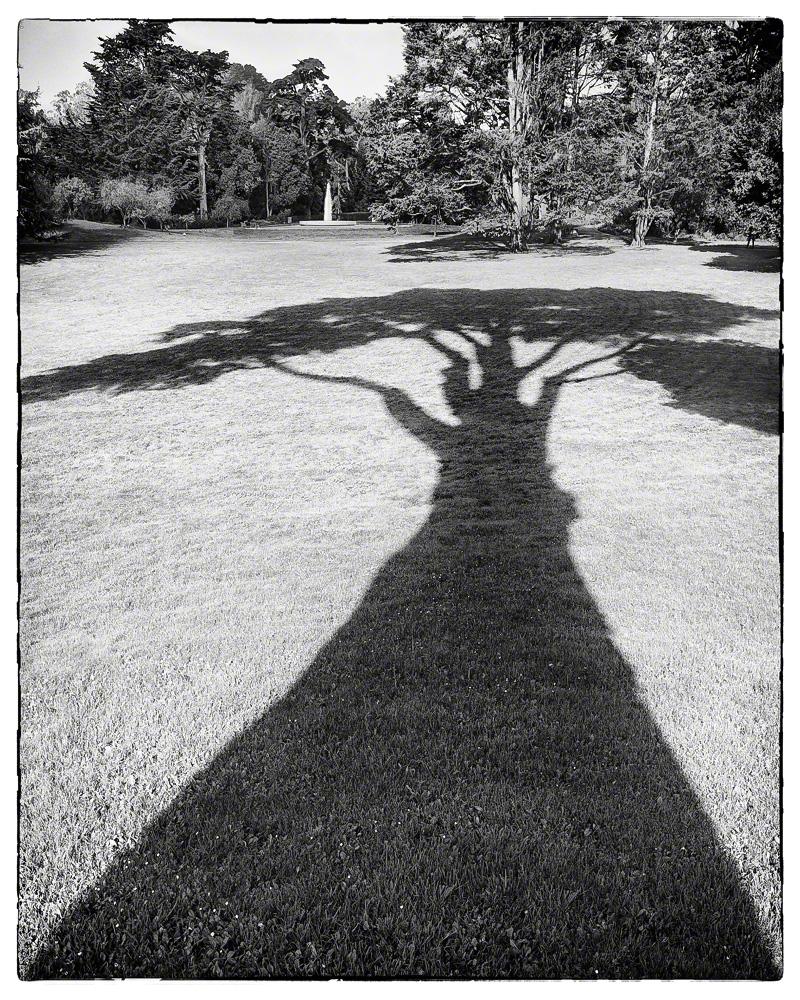 Monterey Cypress Shadow