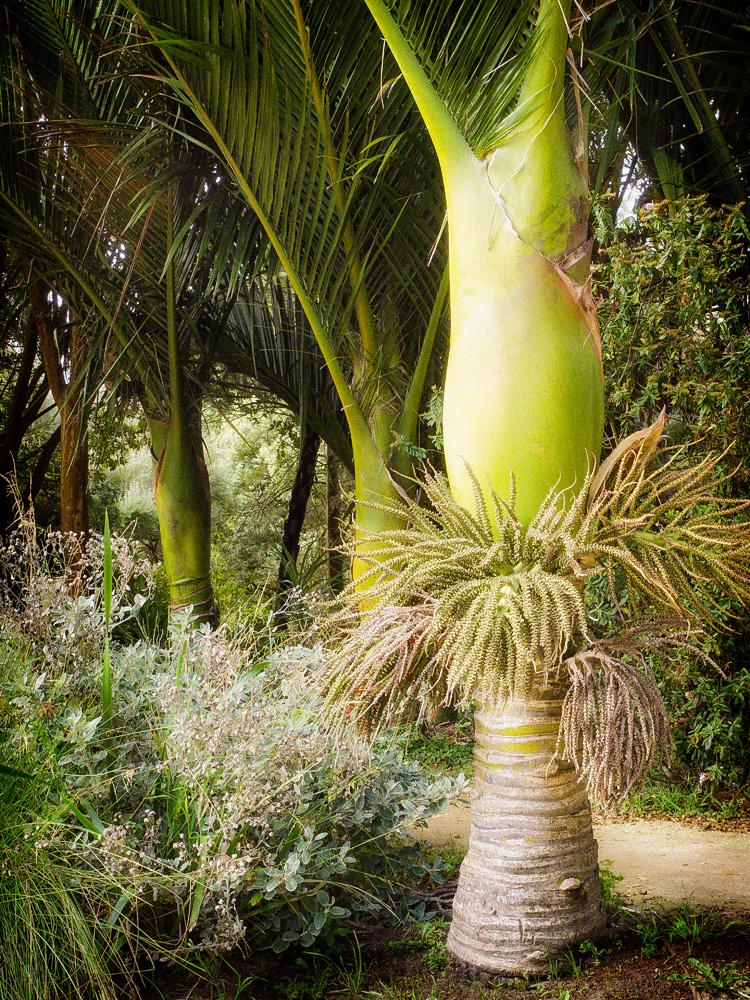 Nikau Palms