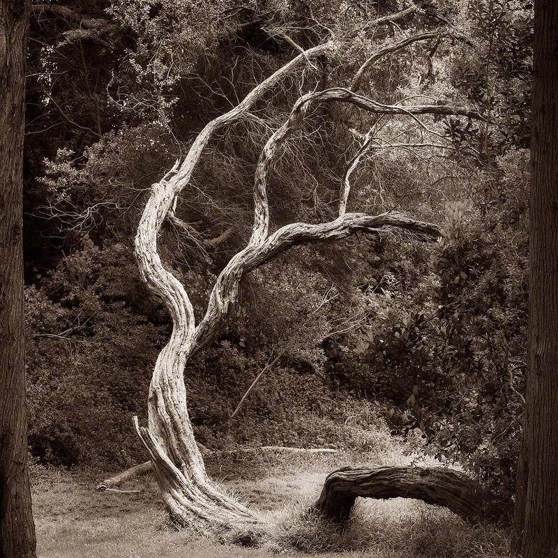 Grove with Coastal Tea Tree