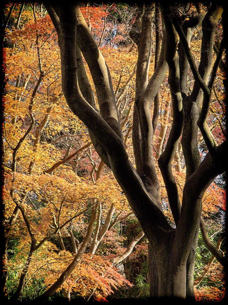 Japanese Maples, Autumn