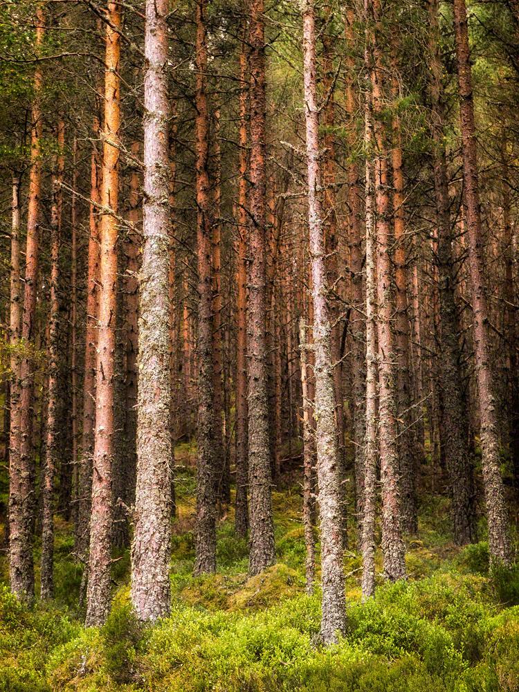 Pine Forest, Scotland