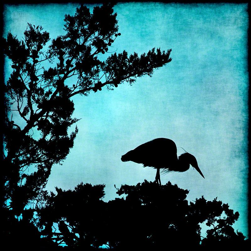 Great Blue Heron, Silhouette