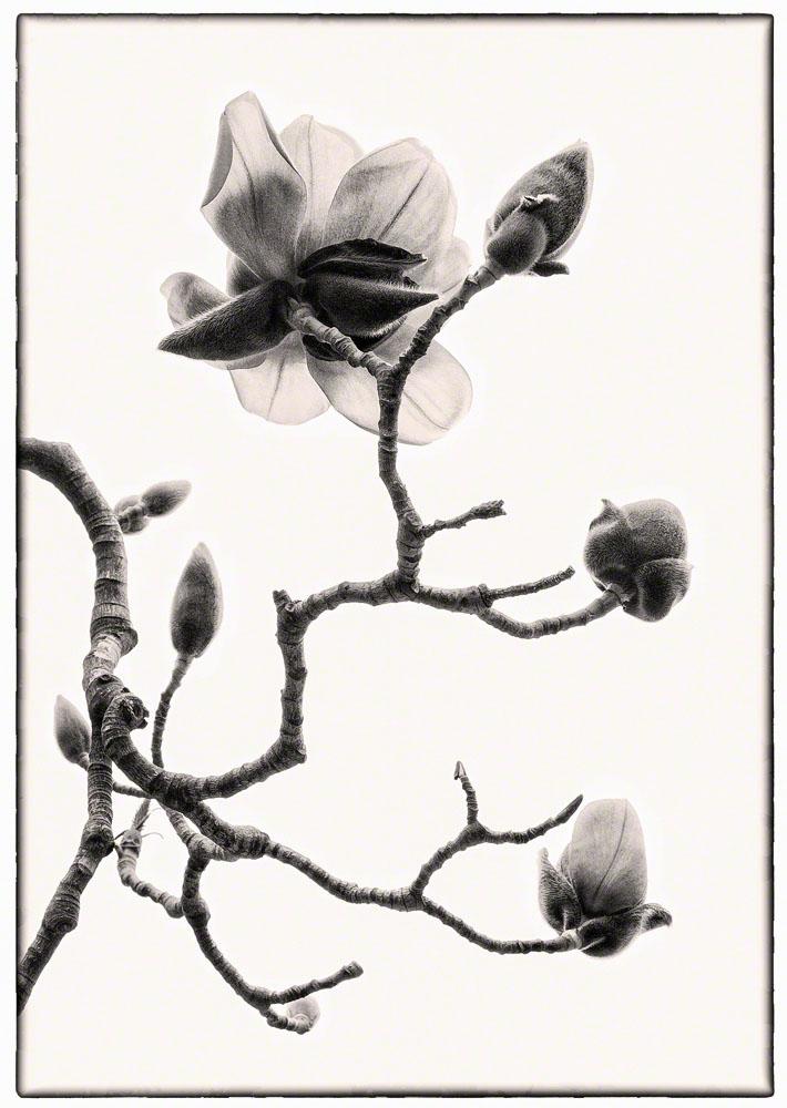 Magnolias, Sepia