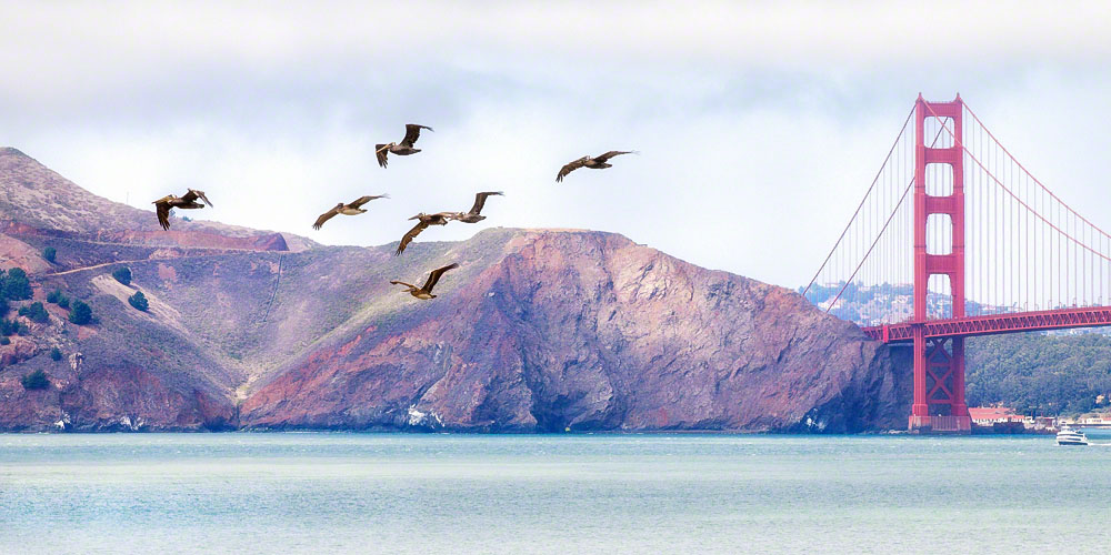 Pelicans at the Gate