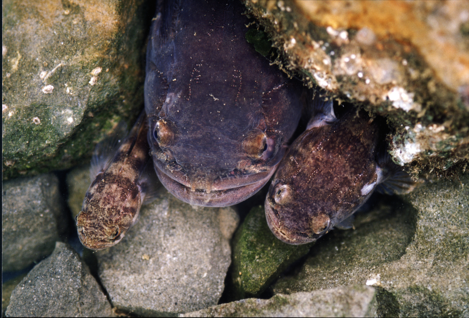 Three midshipman in a nest. From left to right: type II male, type I male, female