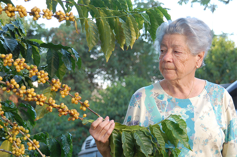 A Brazilian woman harvesting local coffee beans