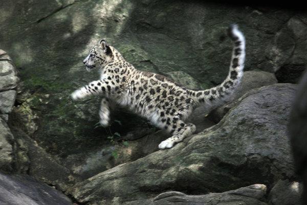 27leopard-ss-slide-V23K-articleLarge.jpg