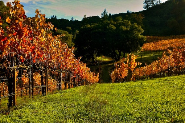 A look down one of our Zinfandel rows at Collier Falls