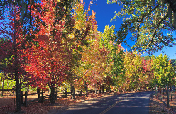 Trees illuminated in bright fall colors line a Sonoma County road. Photo byDigital Story.