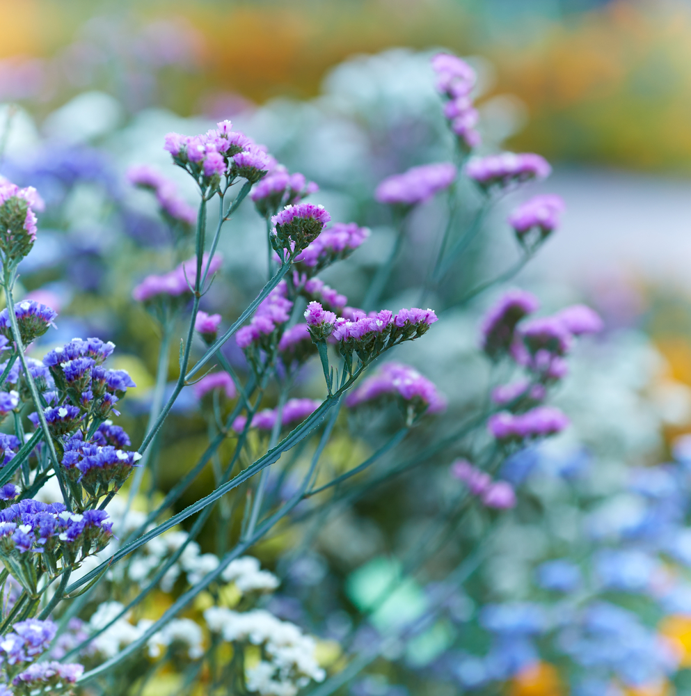 SEA LAVENDER - Sea Lavender is one of the most powerful antioxidants available. It protects your lips against UVA and UVB radiation, and can help repair UV exposure.