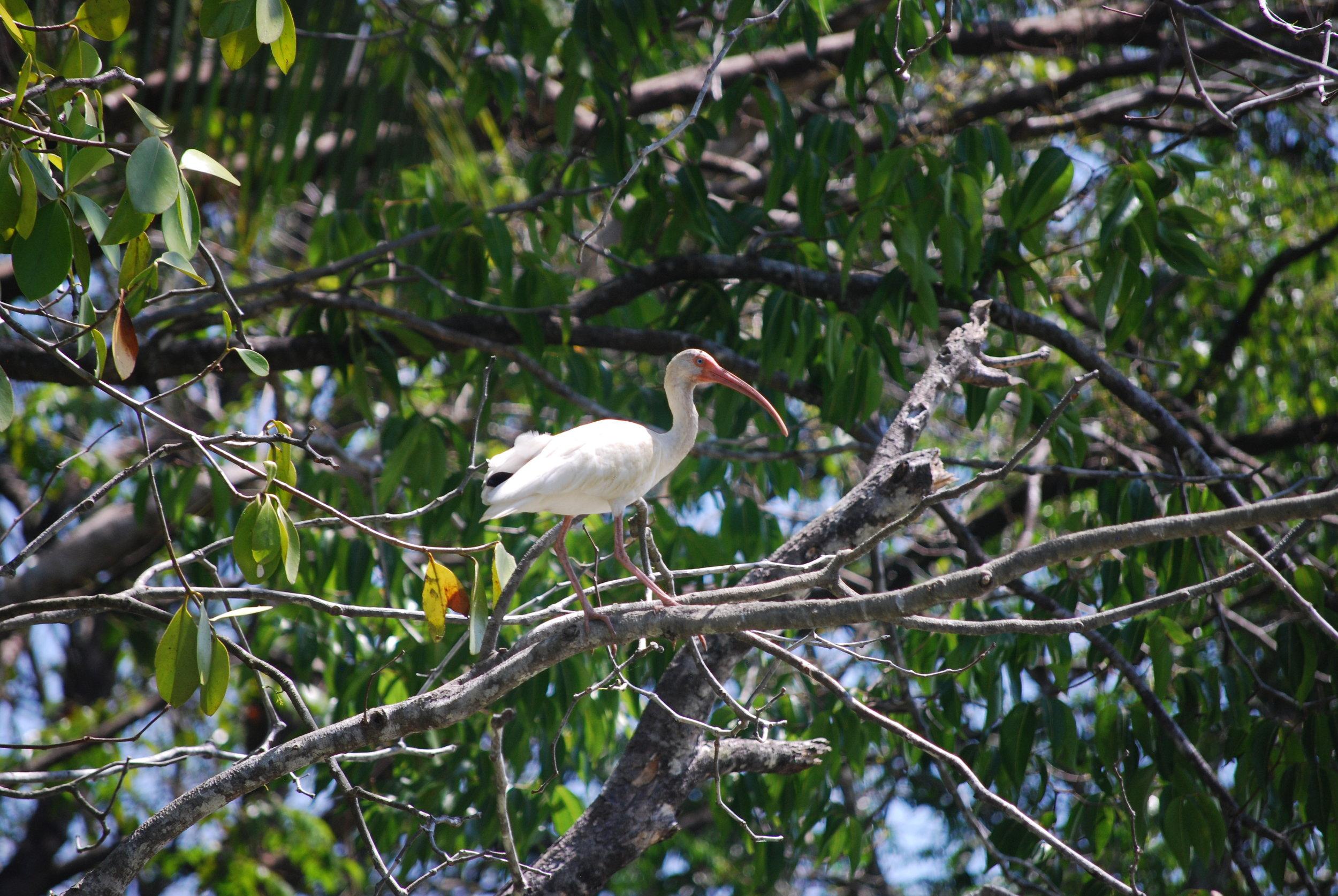 Ibis - Mangrove Tour