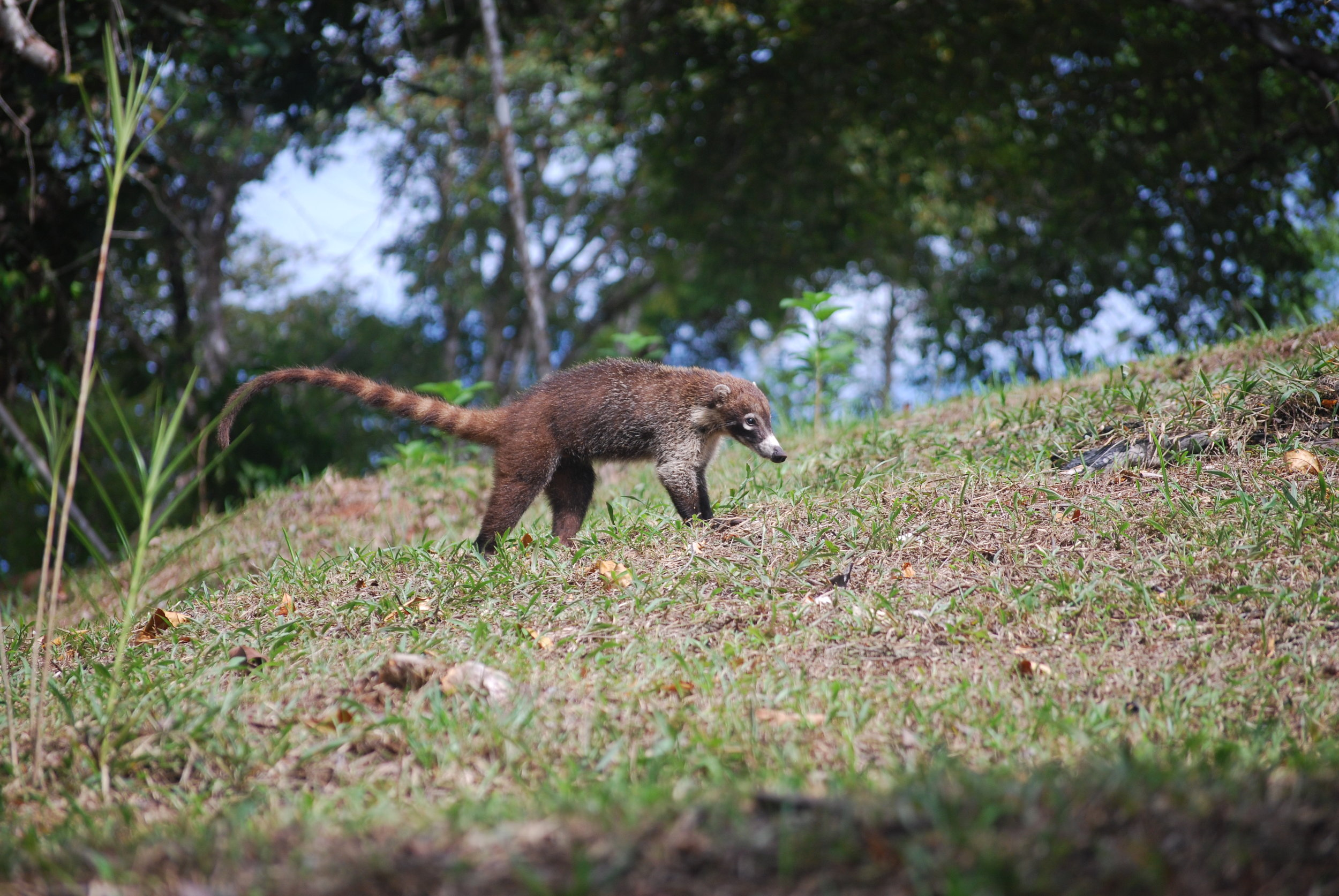 Coati -a member of the raccoon family