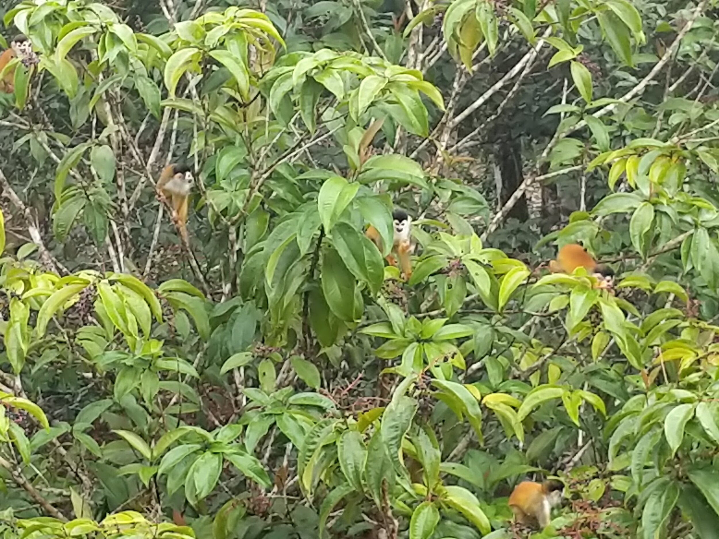 Squirrel monkeys right by the lodge.