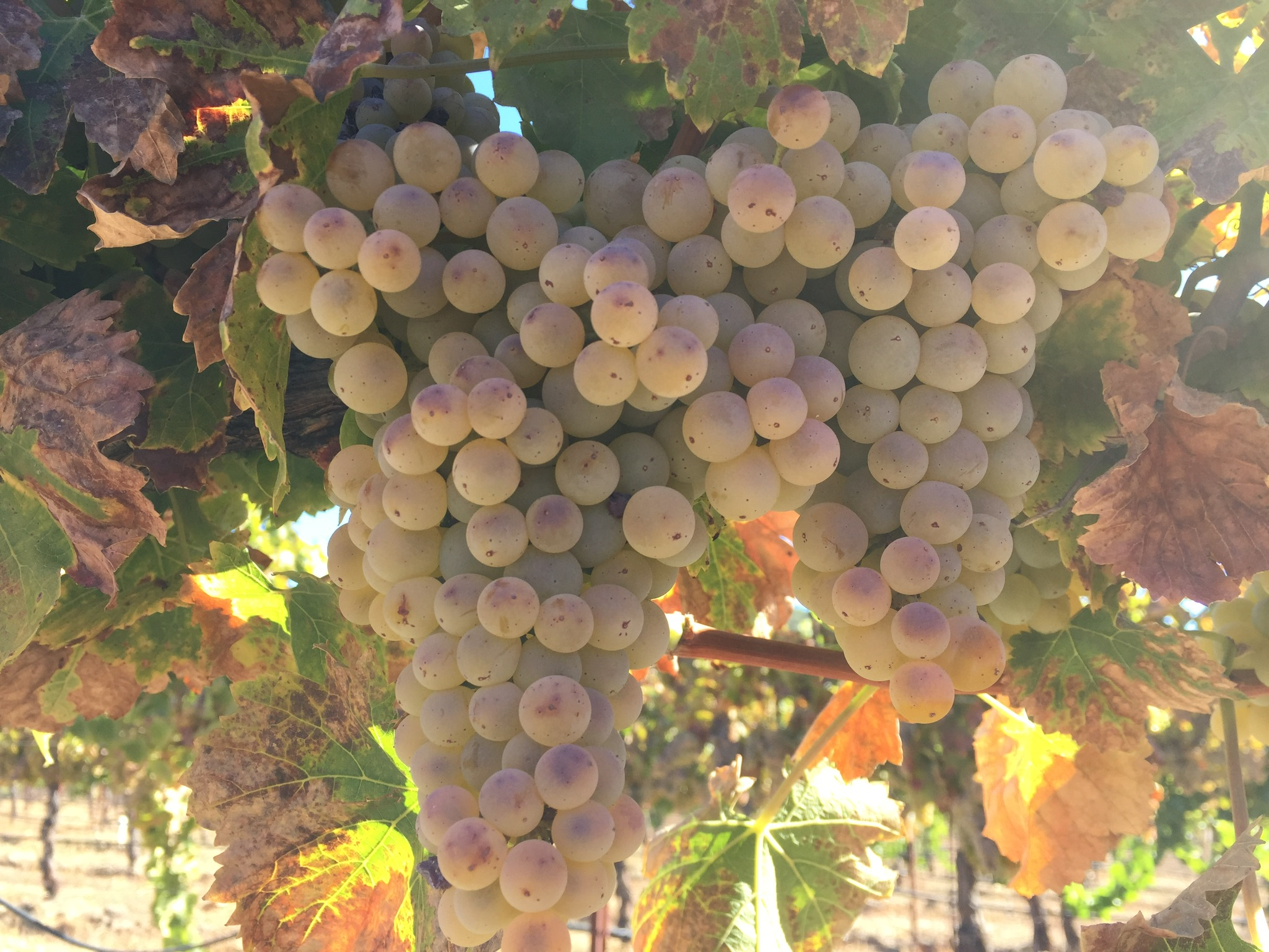 Granache Blanc grapes bursting on the vines at Halter Ranch