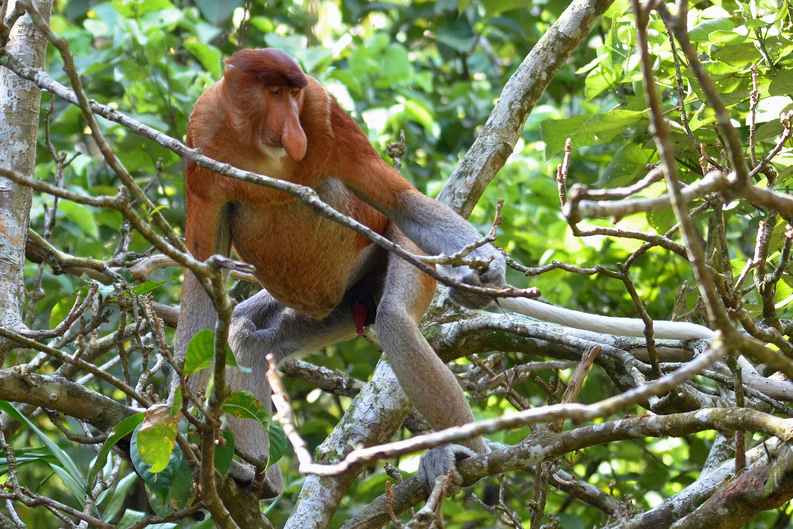 This male proboscis monkey ignores my camera as he moves deeper into the coastal forest.Rare and endangered, this species is threatened by deforestation and habitat destruction in many parts of Borneo.